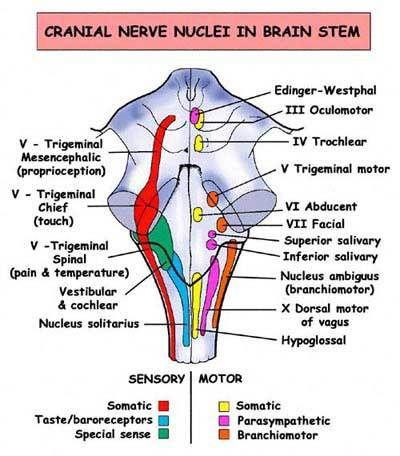 cranial nerve nuclei in the brain stem therapy ideas pinterest rh pinterest com Cranial Nerves Made Easy Gross Anatomy of the Brain and Cranial Nerves