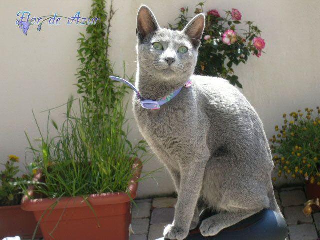 Una elegante gatita Azul Ruso | Gatos Azul Ruso | Pinterest | Gatito ...