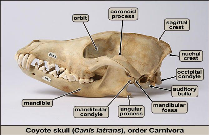 Animal Skull Diagram Melex 212 Golf Cart Wiring Coyote Skulls Animals In 2019 Zoology