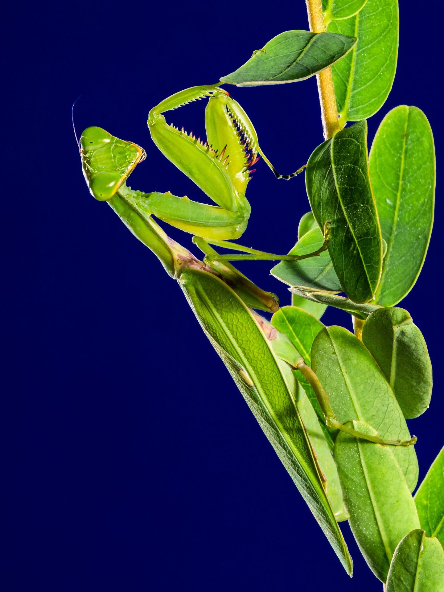 The Praying Mantis is an extremely beneficial insect