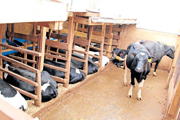 Dairy Cows In Their Zero Grazing Unit Meat Farms Cow
