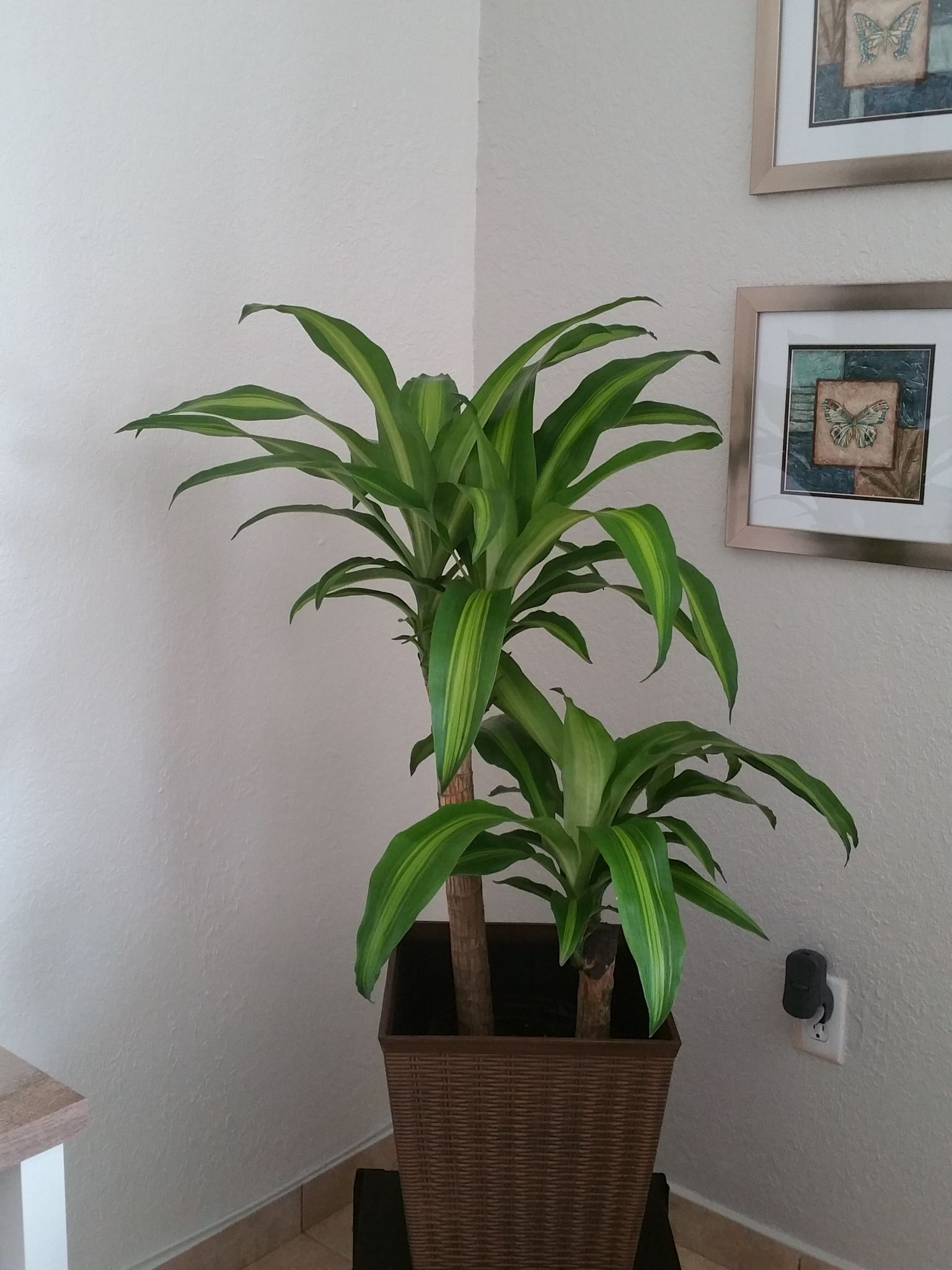 plants feng shui home layout plants. Mass Cane Floor Plant. PlantSecret GardensFeng Shui Plants Feng Home Layout M