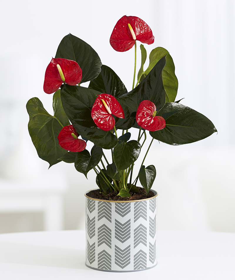 Anthurium Andreanum Bugatti Red O17cm Anthurium Plants Floristry