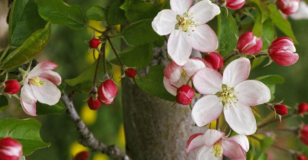 michigan, state flower, pyres coronaria, apple blossom