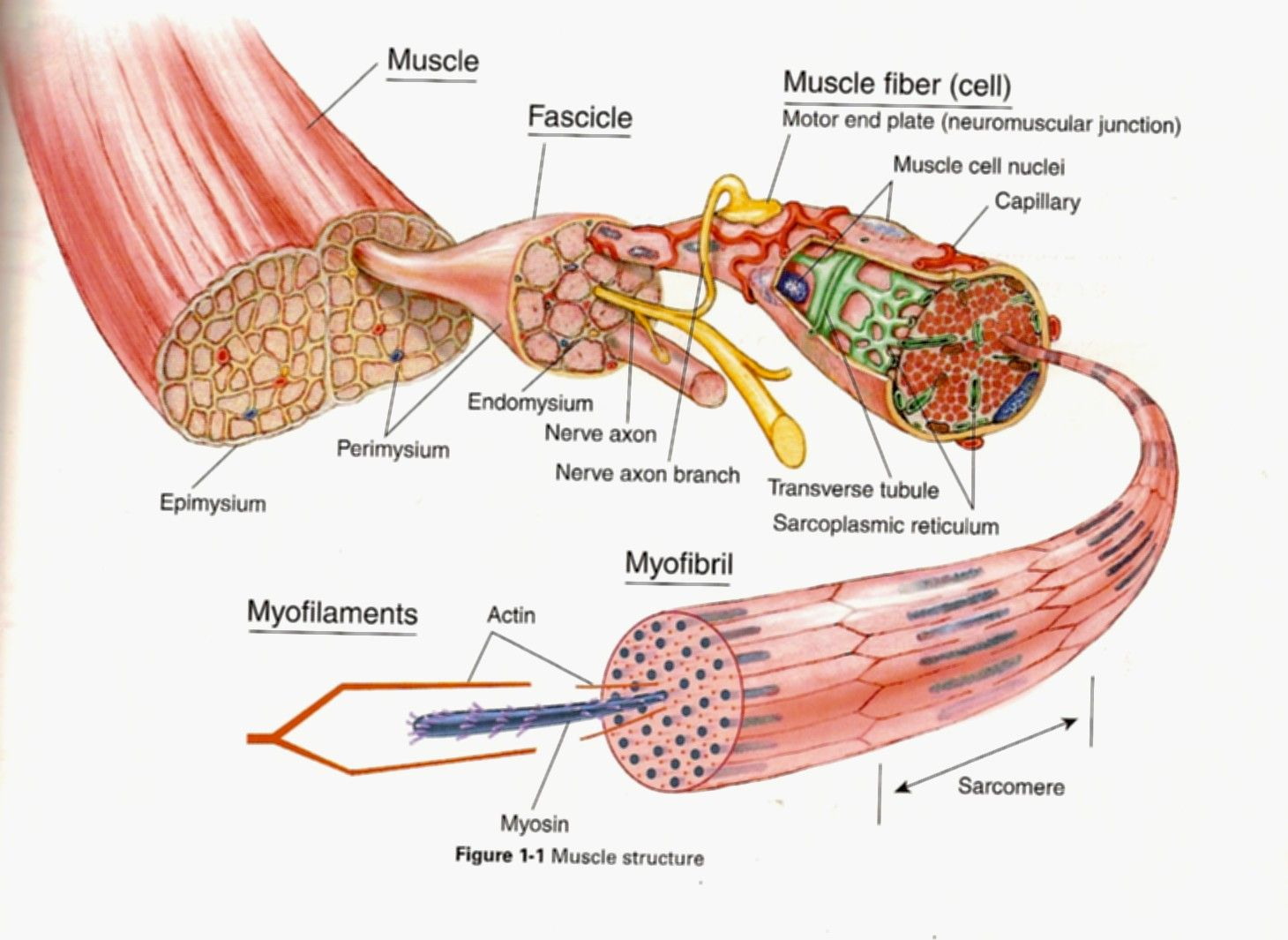 Structure Of A Muscle Fibre