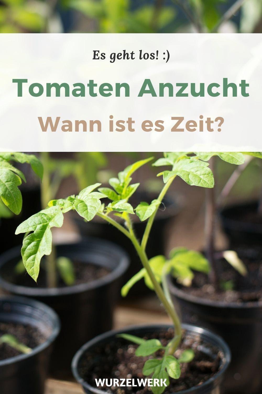 10 Tipps Zur Perfekten Tomate Aus Dem Eigenen Garten Tomaten Tomaten Pflanzen Garten