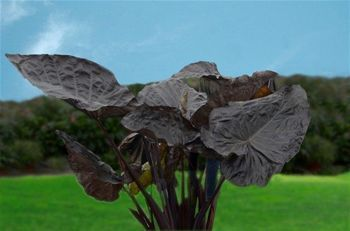 "Colocasia ""Black Goblet"" Giant Elephant Ear / Taro – 1 Gallon Size - Perennials #elephantearsandtropicals"