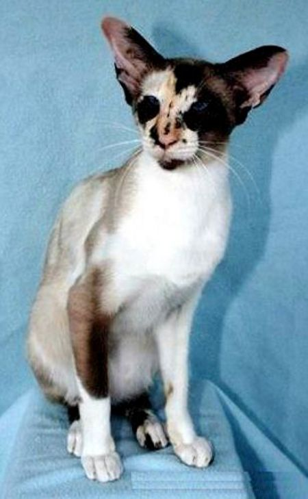 Seal Tortie Pointed And White Osh Oriental Shorthair Oriental