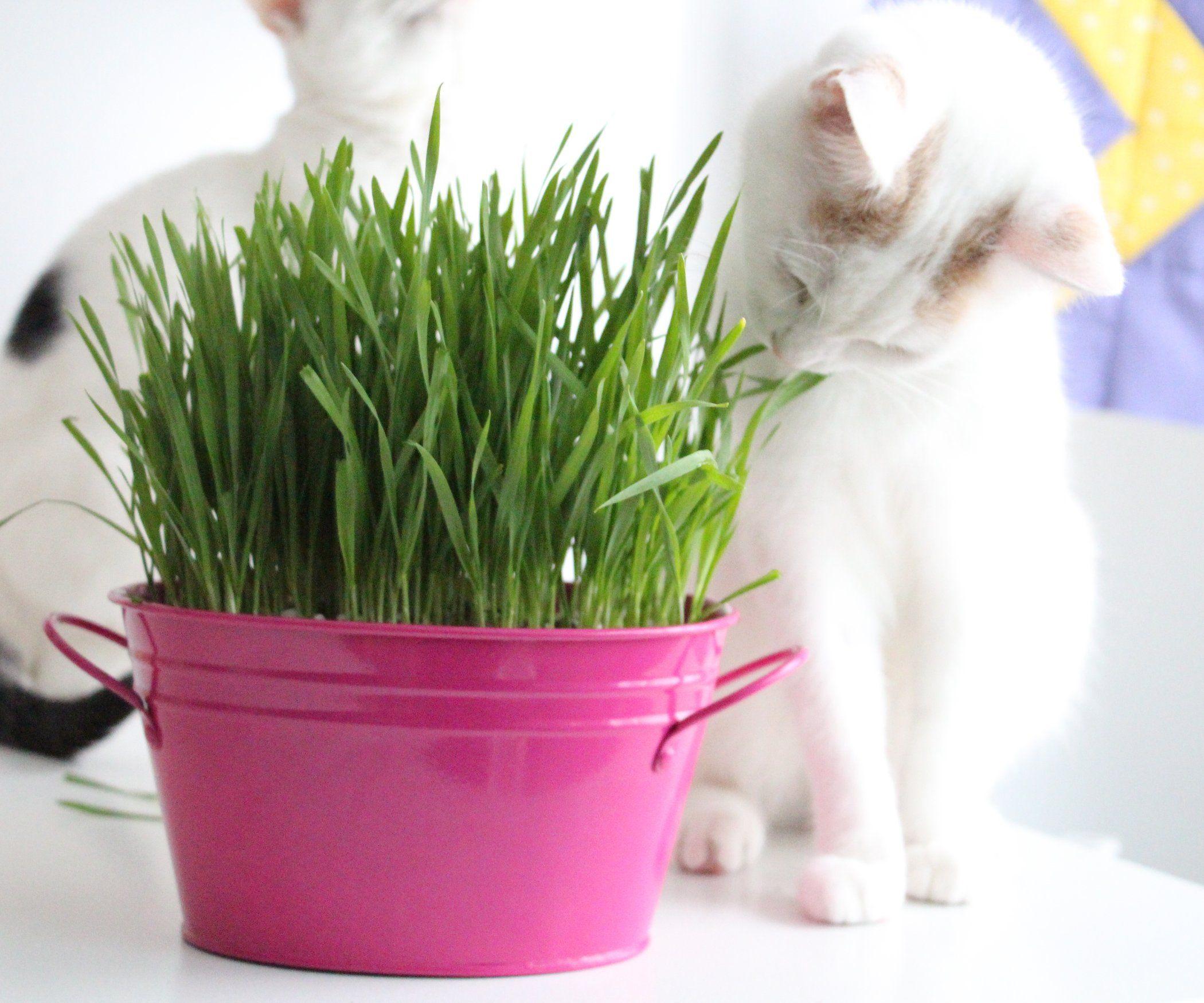 How to Grow Cat Grass Cat grass, Cat grass indoor, Pet grass