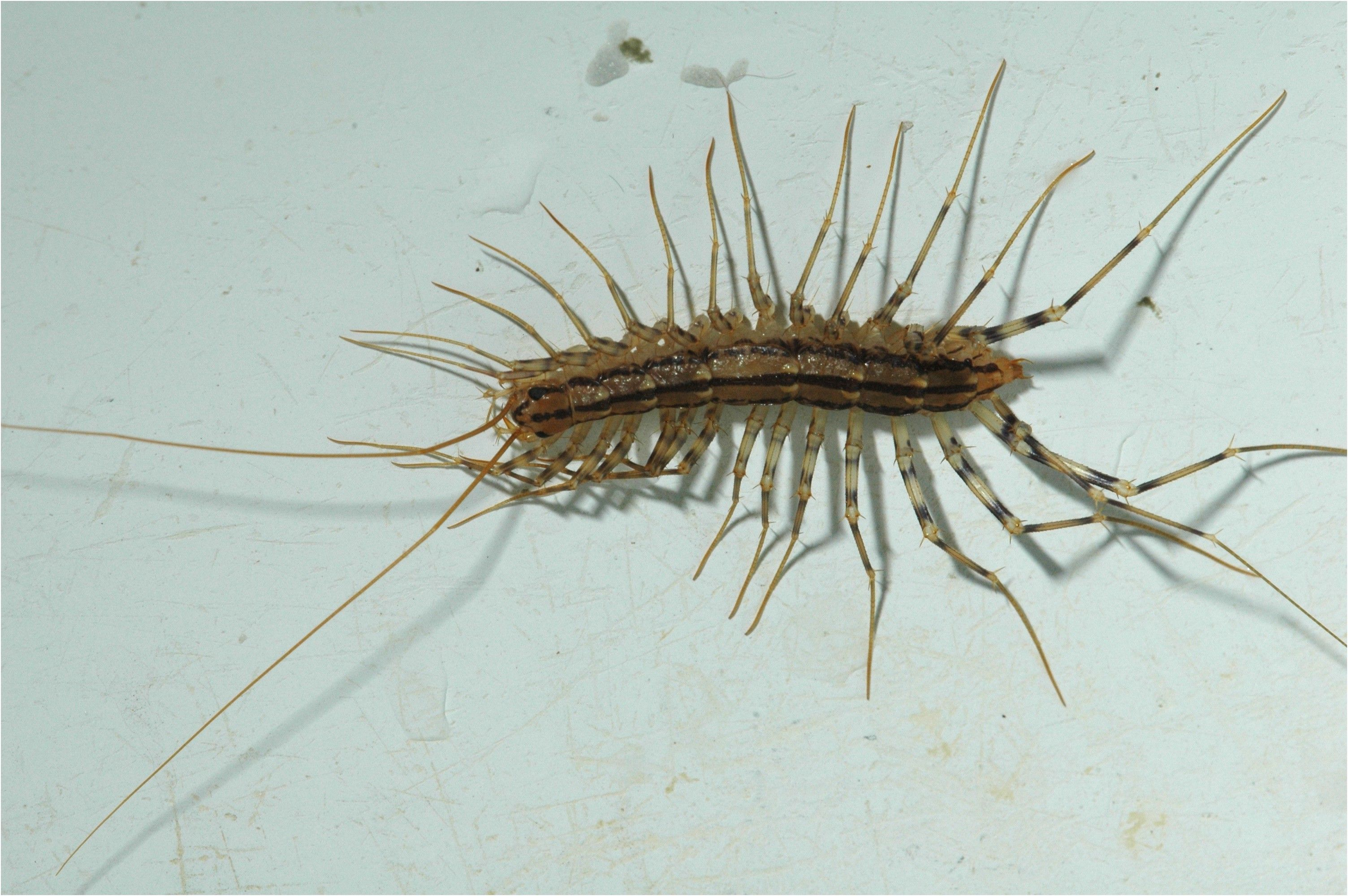 sowbugs millipedes and centipedes in the home insects from Water ...