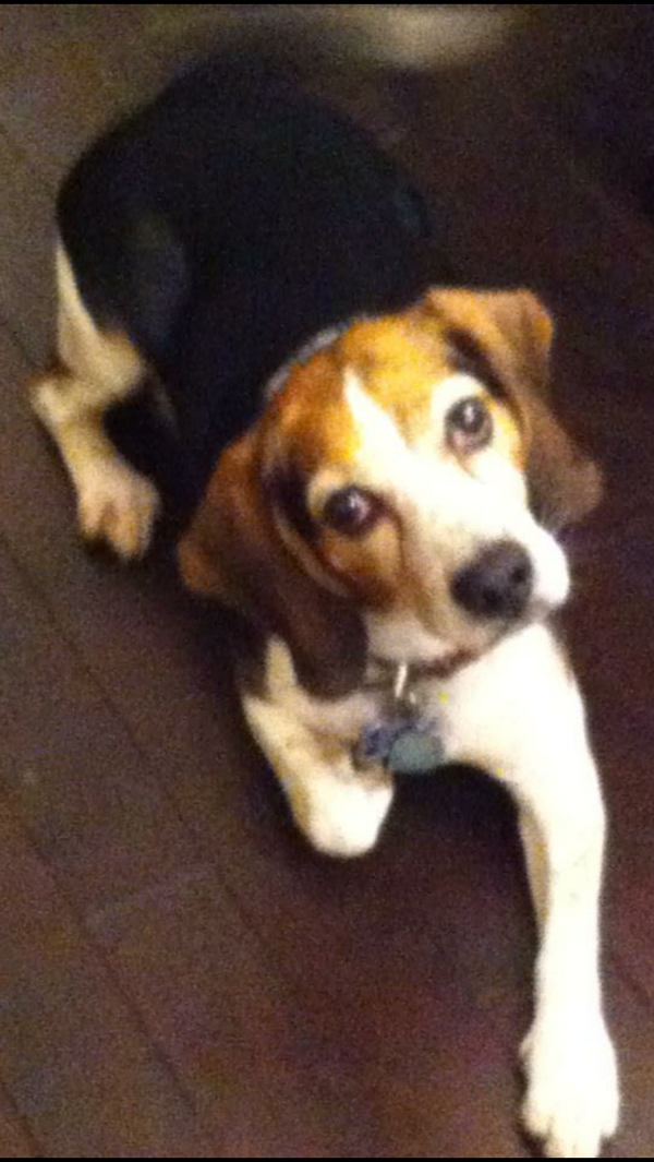 Lost Dog Beagle In Channelview Tx Lostmydoggie Com Losing A Dog Dogs Losing A Pet