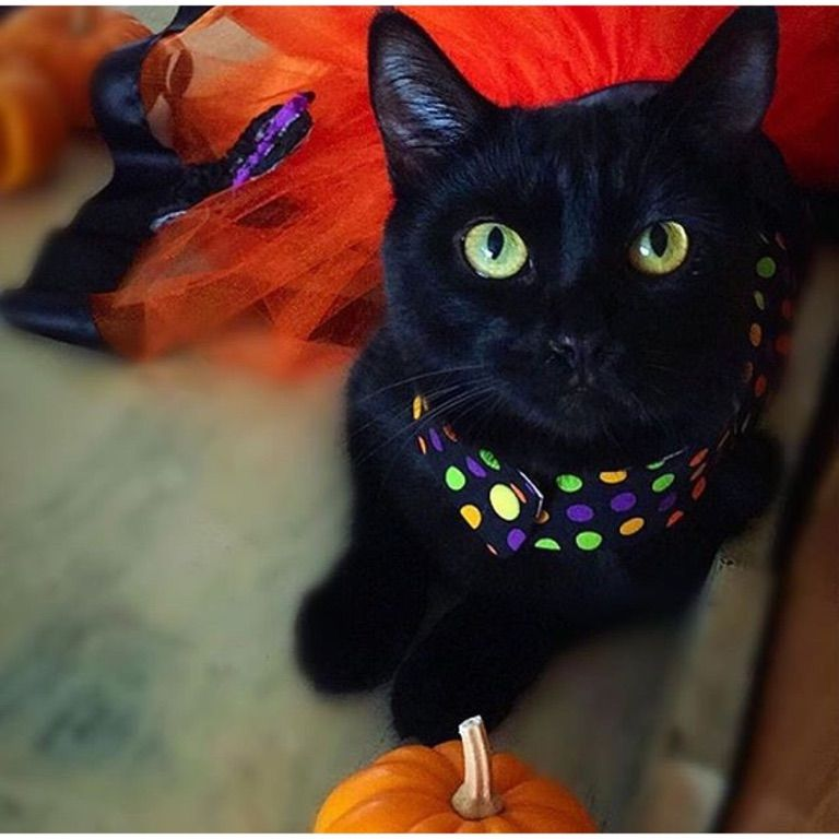 Toothless the black cat Instagram imagens) Animais