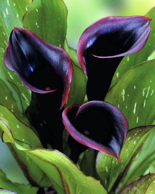 Black Star Zantedeschia Calla Lily Bulbs Bulbs Buy Zantedeschia Calla Lily Flower Bulb Black Calla Lily Calla Lily Flowers Purple Calla Lilies