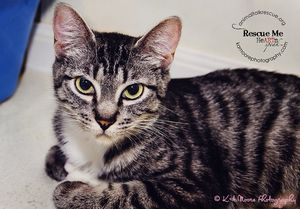 Angel C2345 is an adoptable Tabby Cat in Seattle, WA