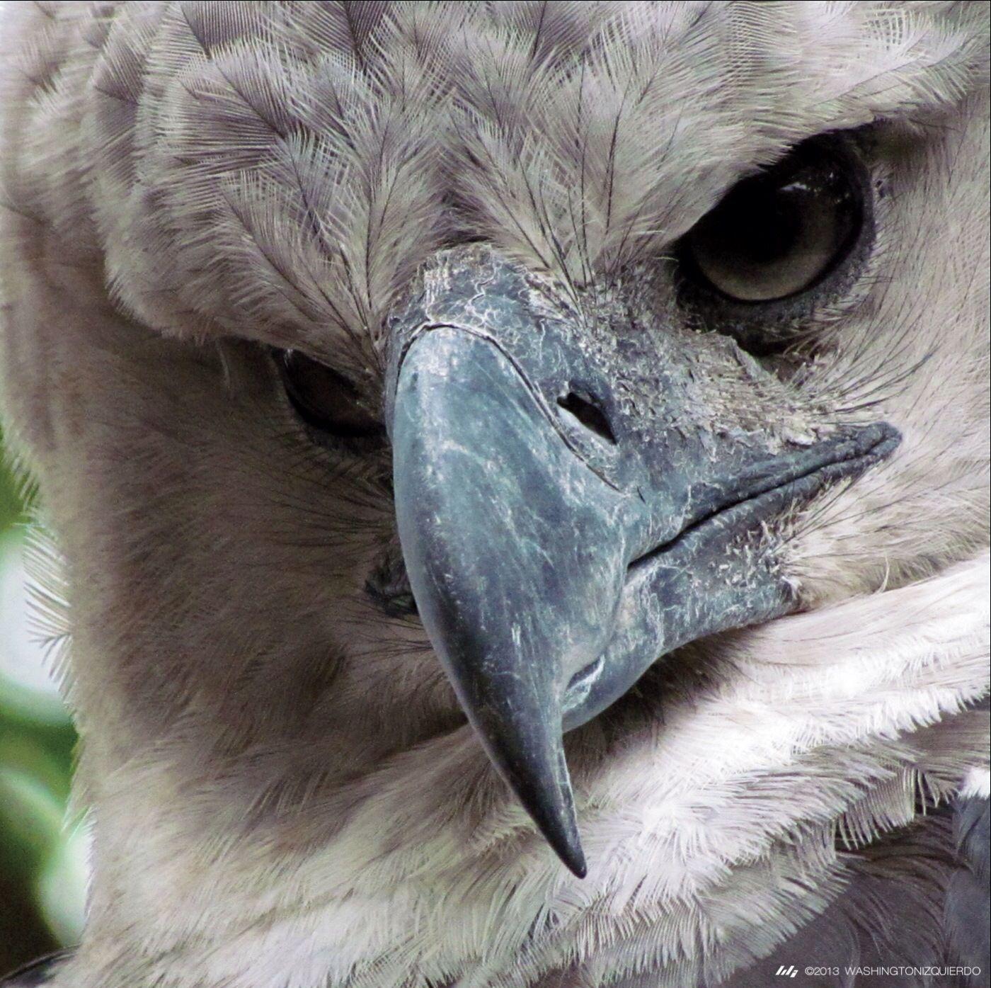 Aguila arpia wallpaper buscar con google panama - Harpy eagle hd wallpaper ...