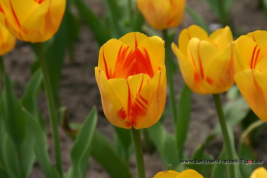 Bild-Tulpe-Olympic-Gold_001