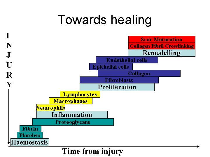 pictures of healing | Figure 8 - The stages of normal acute