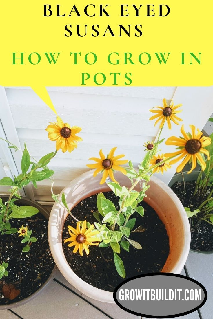 How to grow black eyed susans in pots black eyed susan