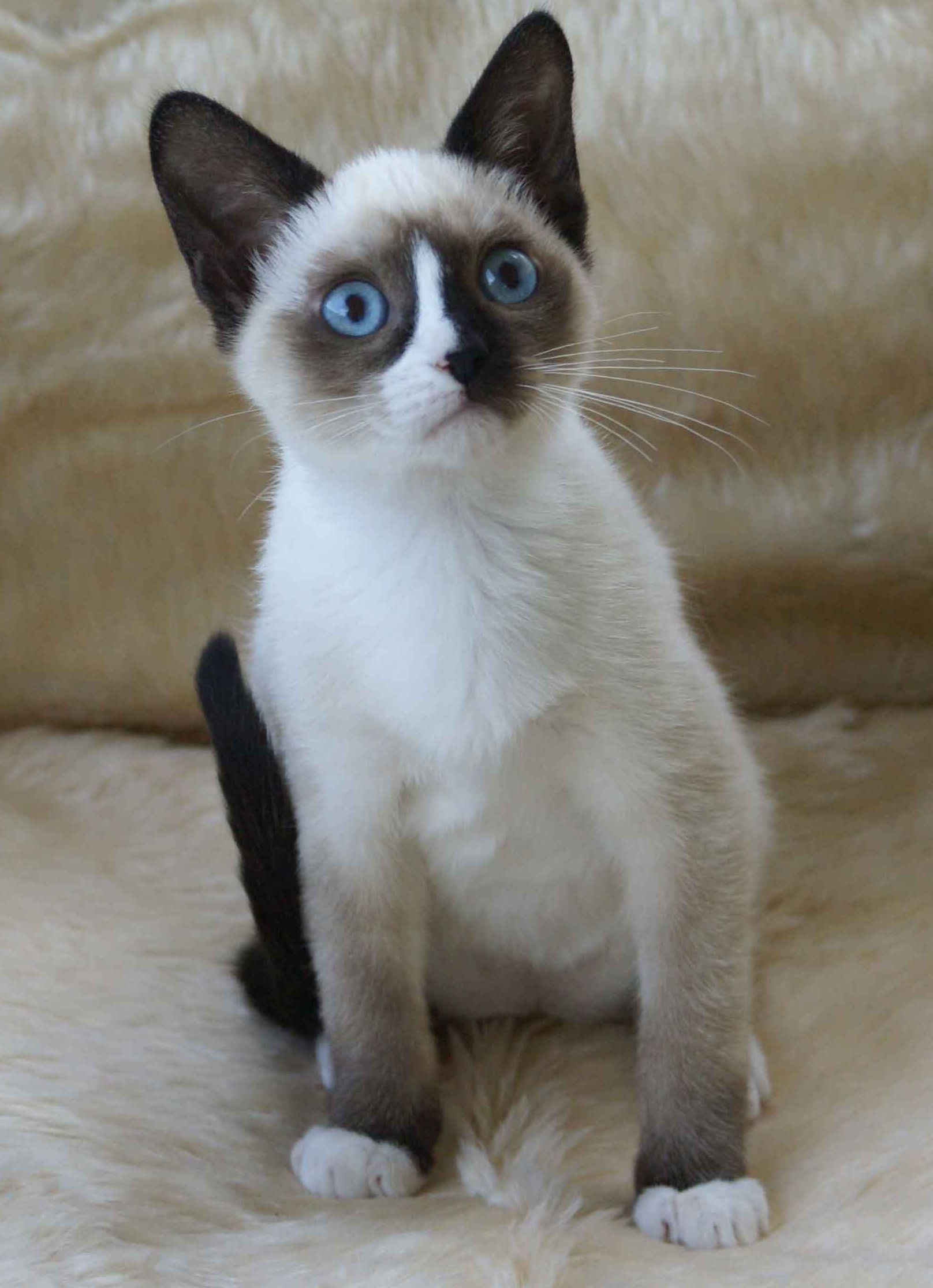 Snowshoe Tonkinese Cat Snowshoe Cat Pinterest