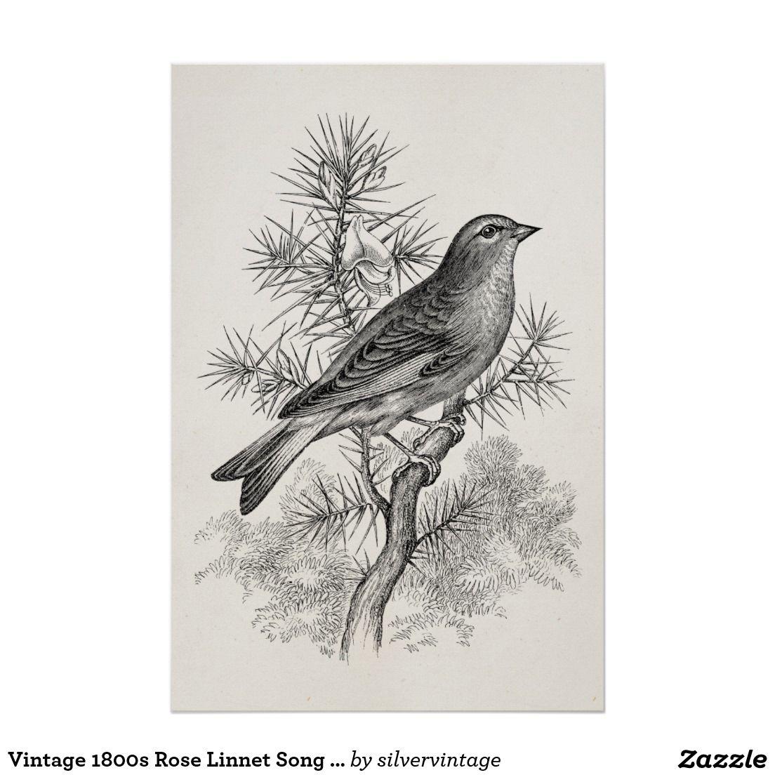 Vintage 1800s roselinnet lied vogel fink v gel poster - Vogel vorlage ...