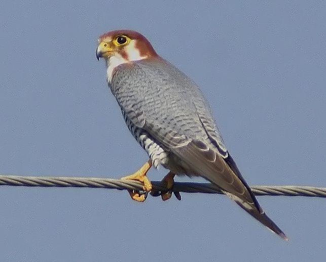 Bird Red Necked Falcon