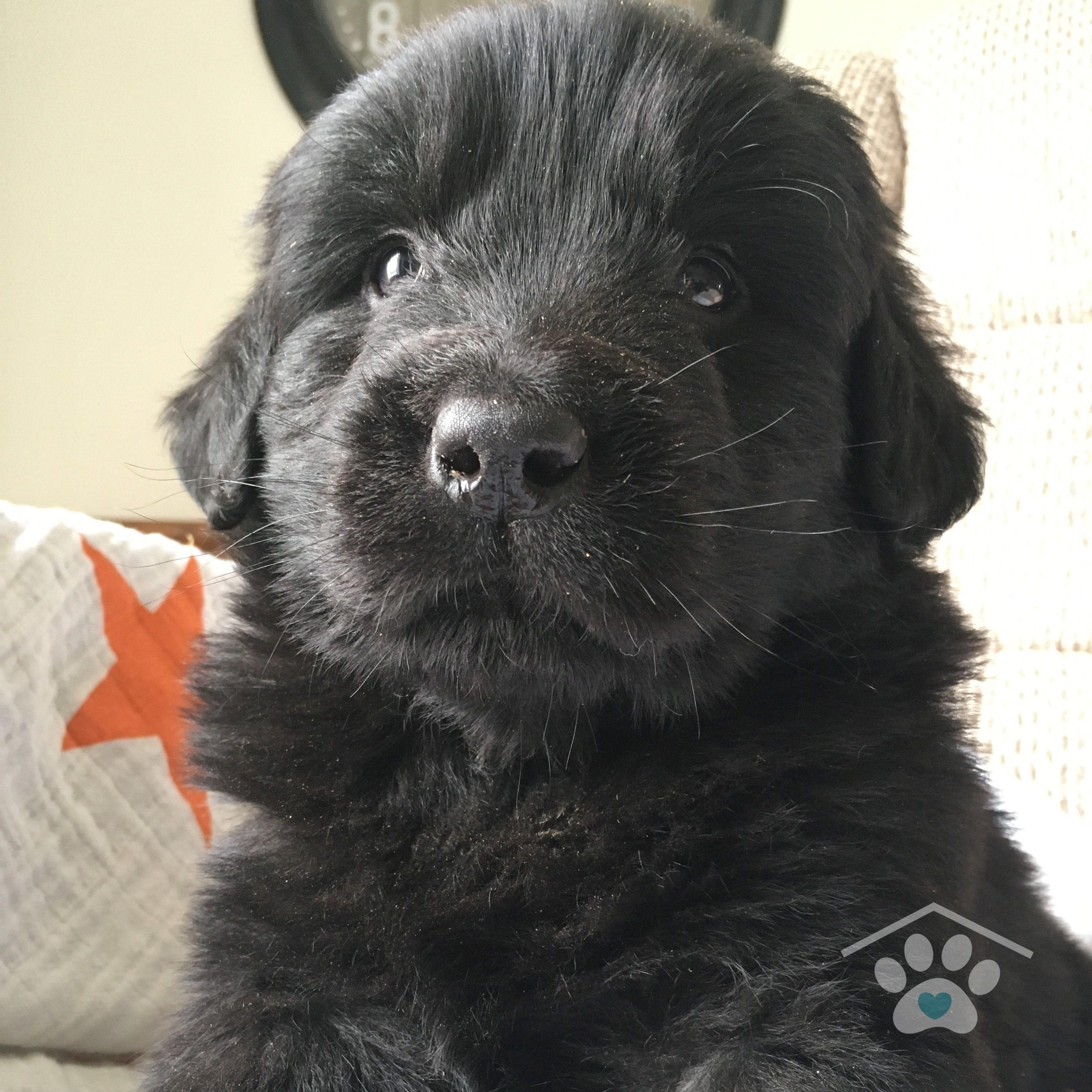 Meet Bongo He Is An Affectionate Purebred Male Newfoundland Puppy