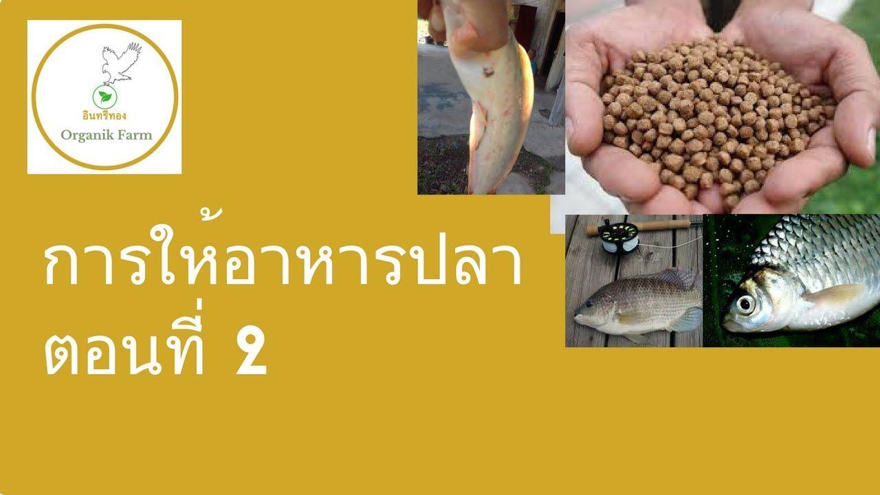 ว ธ การให อาหารปลาน ล ปลาตะเพ ยน และปลาก นพ ช การเล ยงปลาแบบประหย ดต นท น