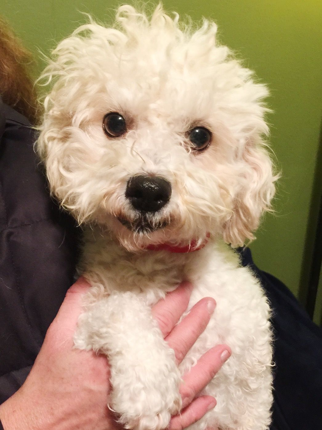 Bichon Frise dog for Adoption in St. Louis Park, MN. ADN
