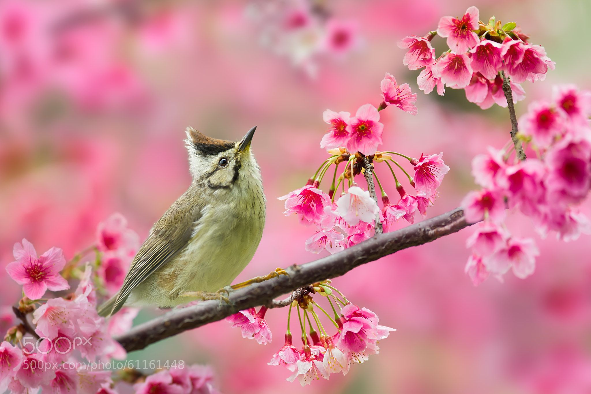 Taiwan Yuhina And Cherry Blossoms By Littletree131 Bird Photography Beautiful Birds Cherry Blossom