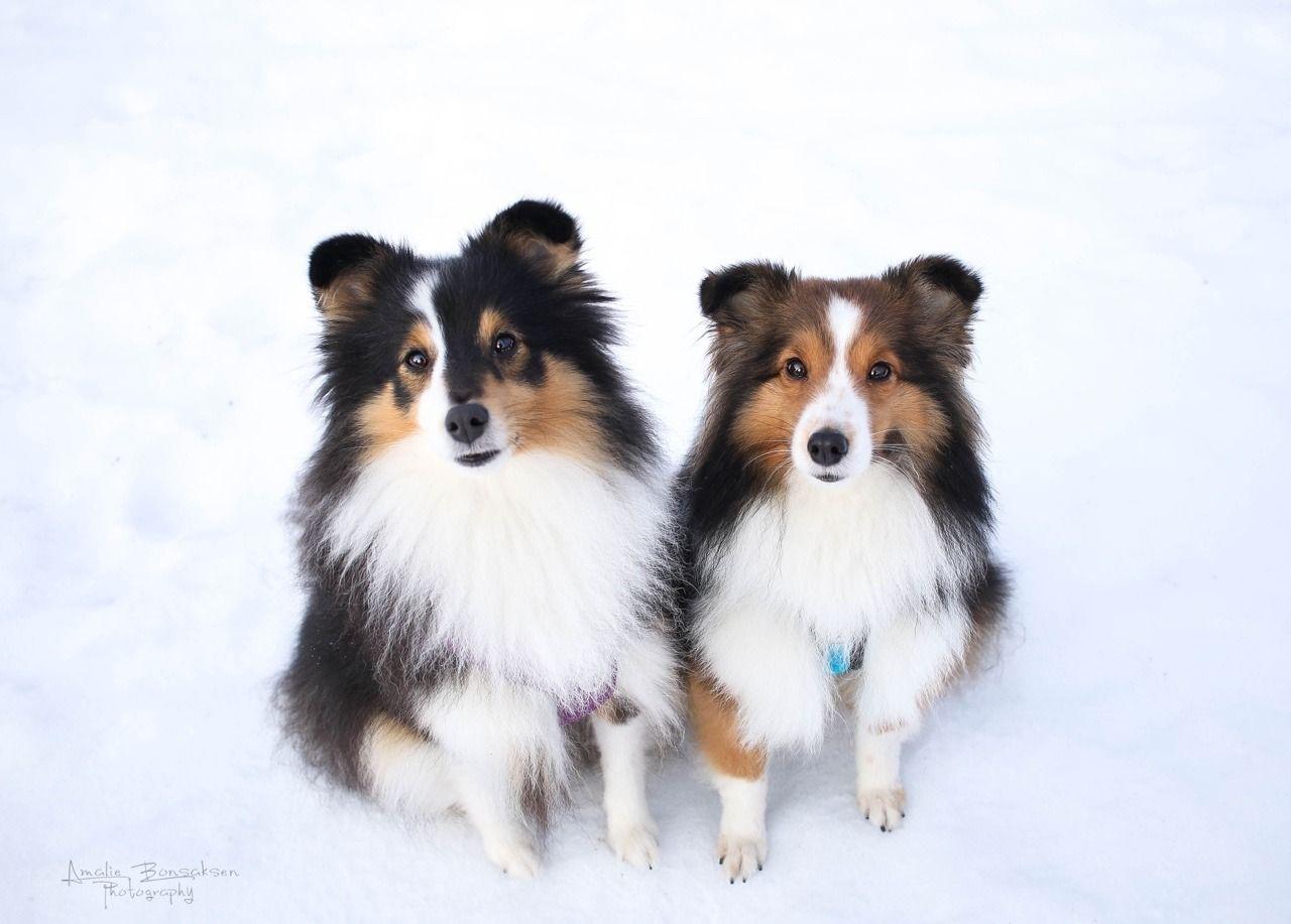 Two Rays Of Sunshine Sheltie Dogs Shetland Sheepdog Shetland Sheepdog Puppies