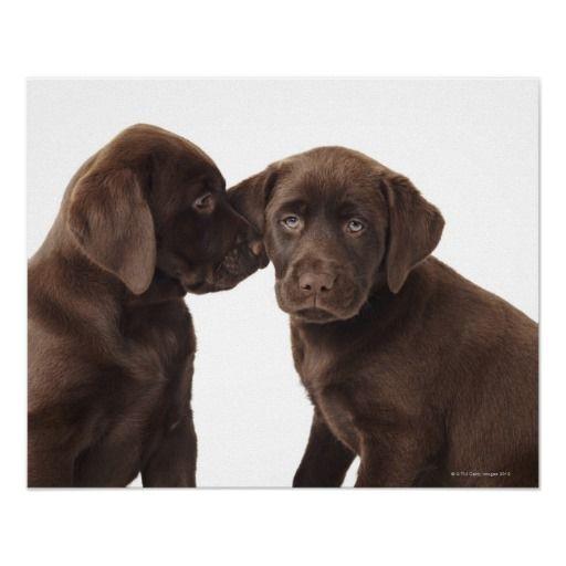 Two Chocolate Labrador Retriever Puppies Poster Zazzle Co Uk Perros Labrador Retriever Cachorros
