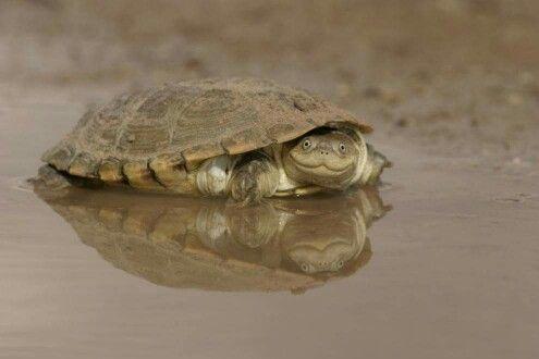 African helmeted turtle says hi :)