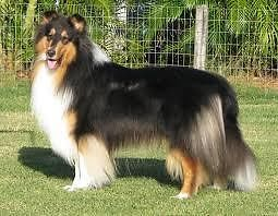 Wanted Tricolour Rough Collie Puppy Wanted Kraaifontein