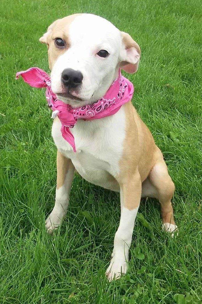 Adopt Jewel on Bull terrier dog, Pitbull terrier, Humane