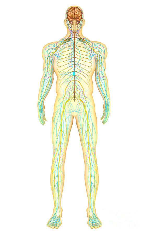 Human nervous systems - Yahoo Image Search Results   Anatomy of the ...