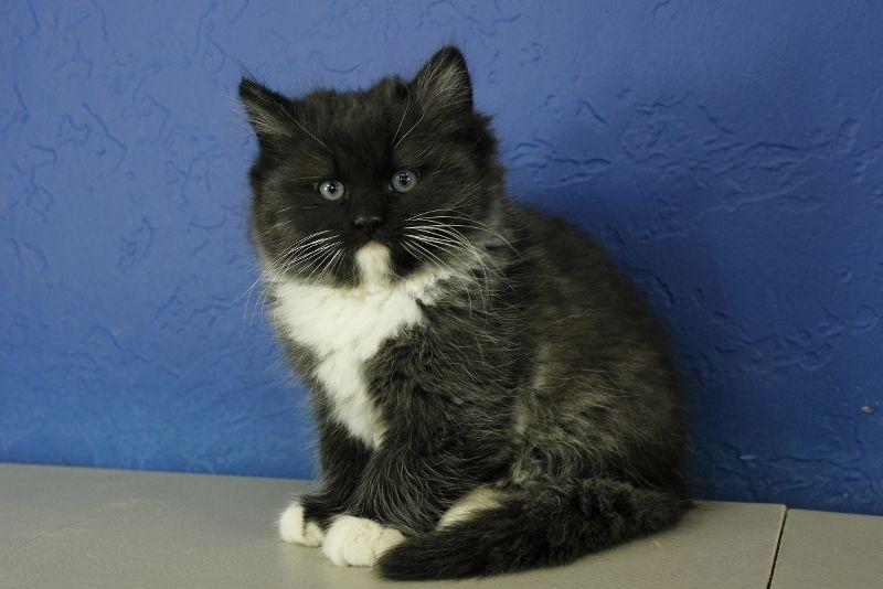 Casanova - Black Tuxedo Ragdoll Cat Kitten from www