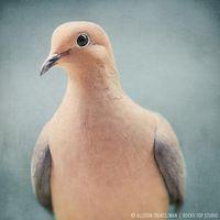 Dit is een plaatje van een duif. Op dit plaatje kun je de kop en de snavel van de duif goed zien.