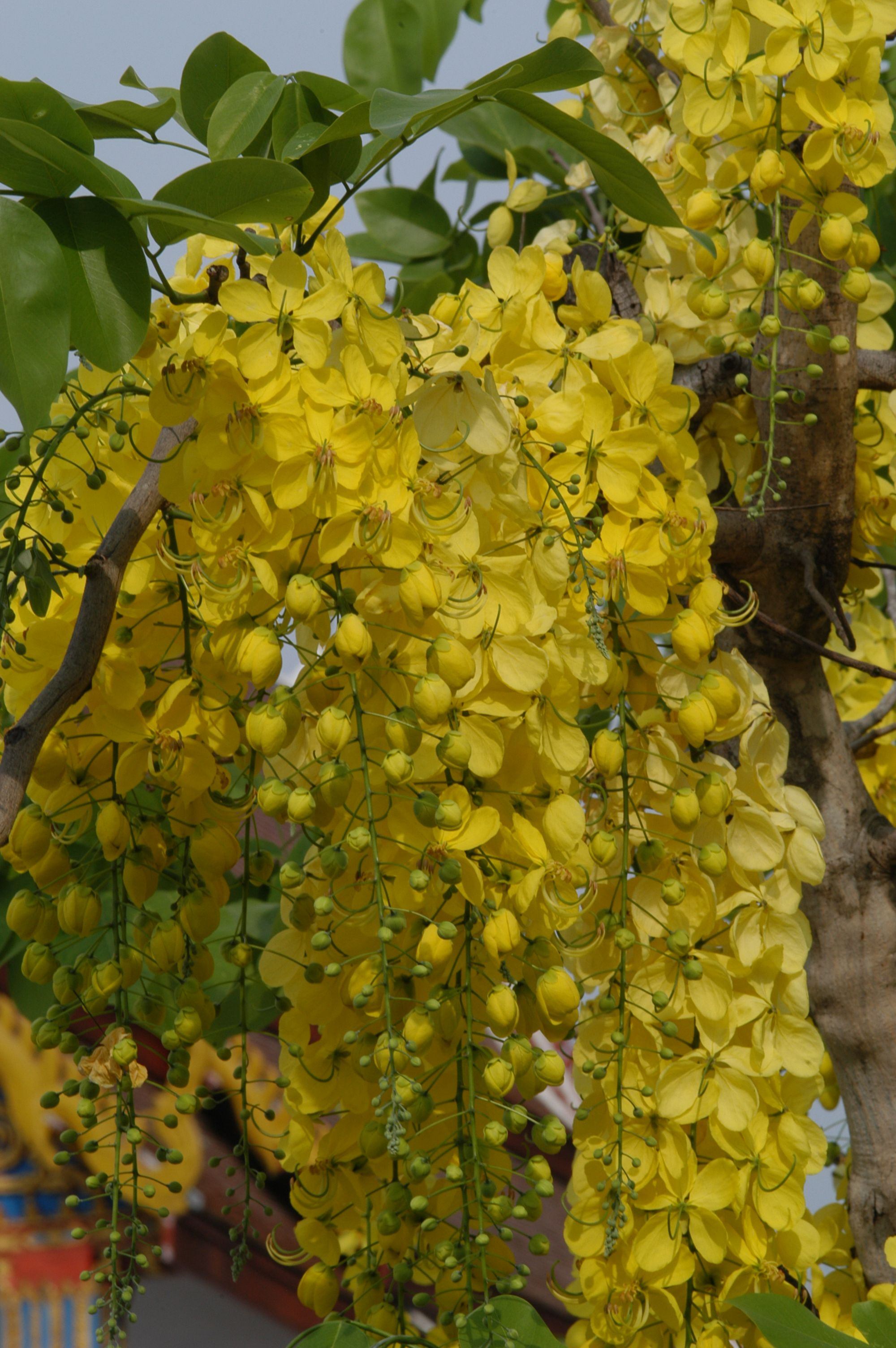 Gold Shower Tree Cassia Fistula 12 15 Cold Sensitive Florida