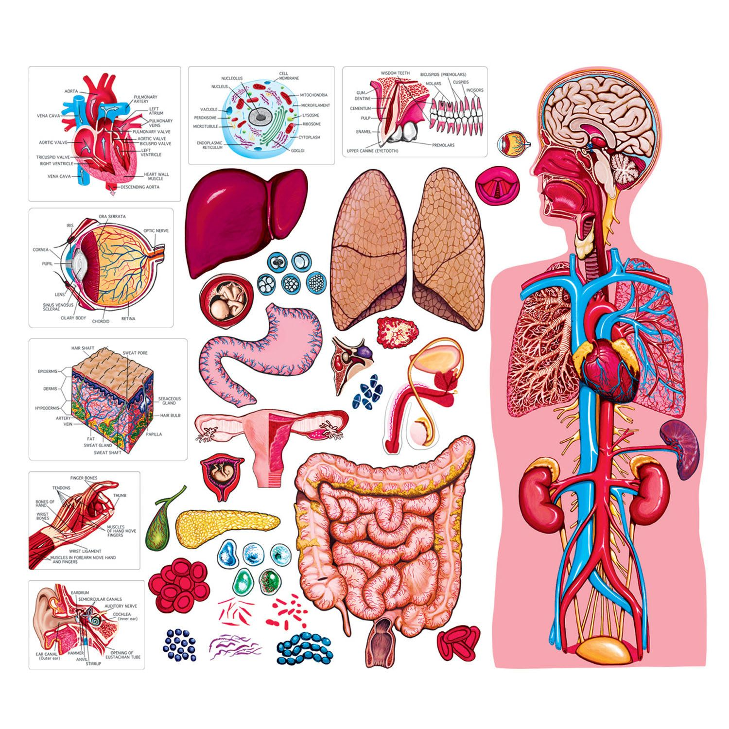 The Human Body And Anatomy Bulletin Board Cut Out