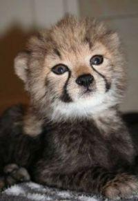 Elroy the Cheetah
