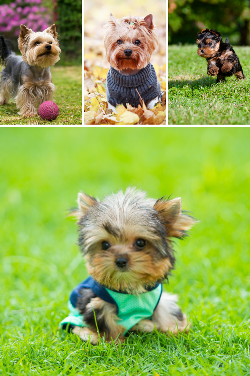 Terrier Puppies Yorkshire Terriers Yorkshire Terrier Is A