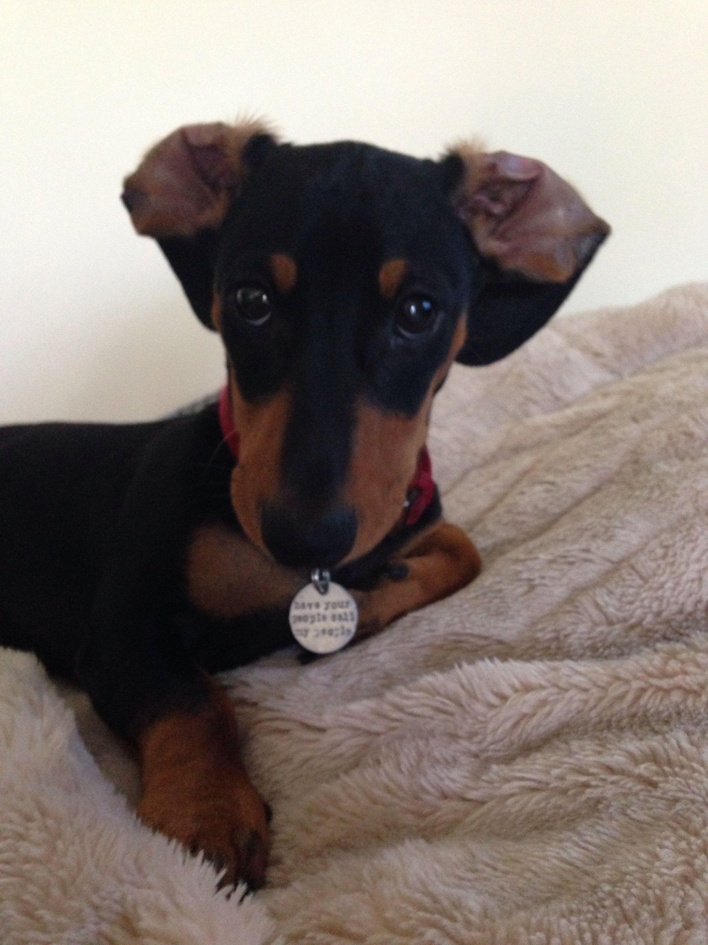 Bed Ears Dachshund Dog Baby Dachshund Dachshund Love