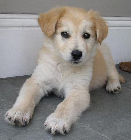 Golden Retriever Corgi Mix Really Cute Puppies