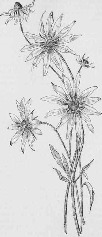 flower scientific illustration black and white - Buscar con Google