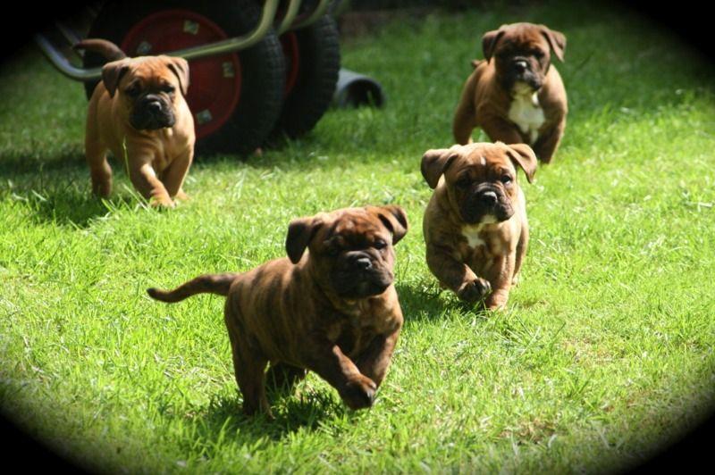 Welpen Welpen Bulldogge Continental Bulldog