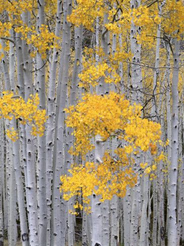 Aspen Grove on Fish Lake Plateau, Fishlake National Forest, Utah, USA Photographic Print by Scott T. Smith #utahusa