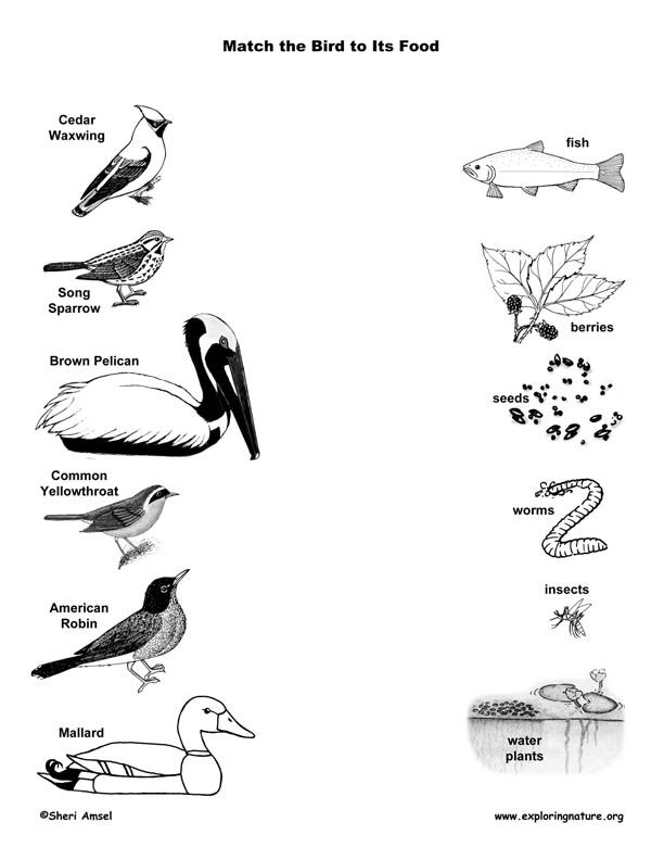 Match the Birds to Their Food, bird beaks, beak, matching
