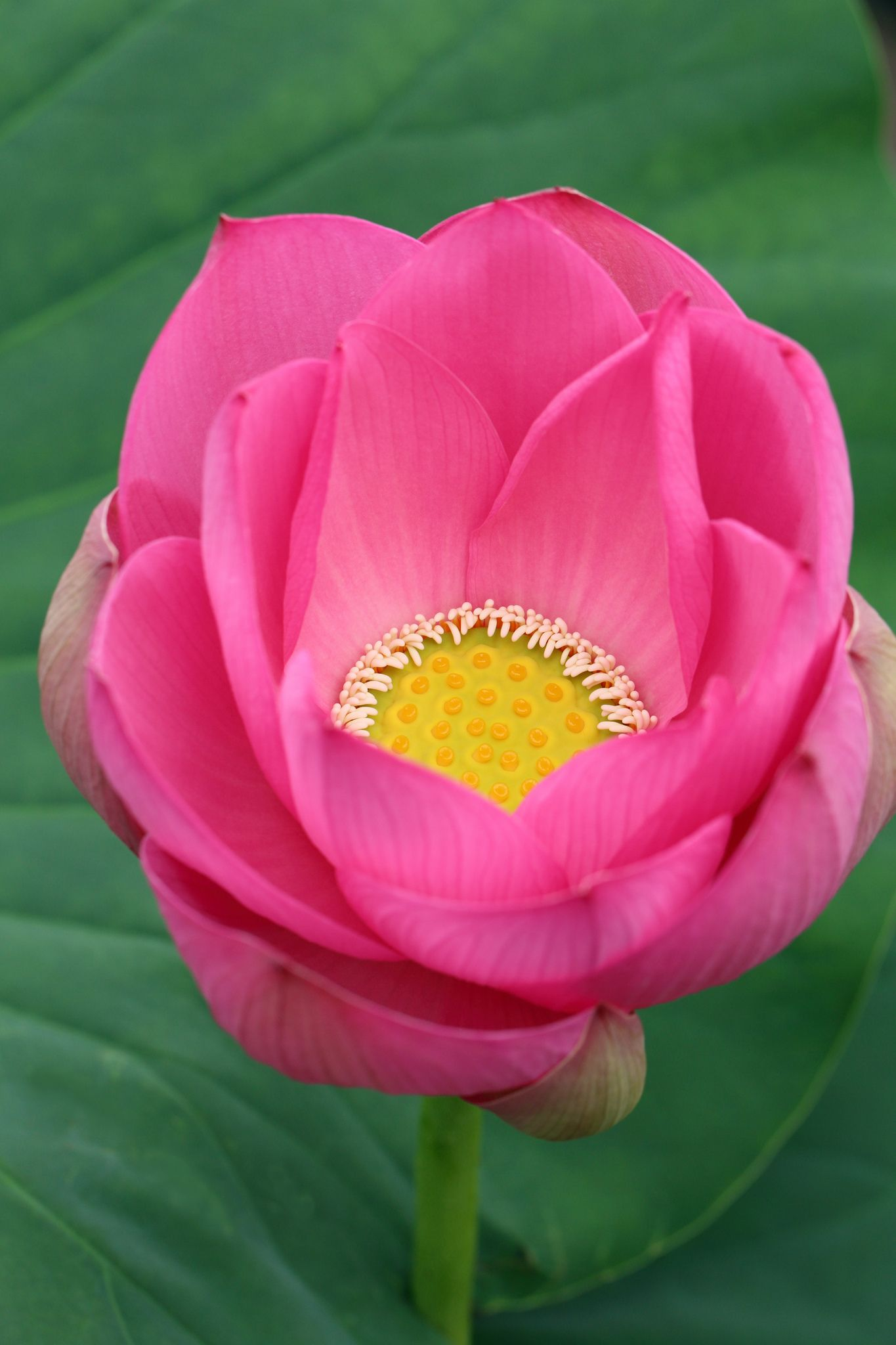 Lotus Flower Dream Garden Pinterest Lotus Flower