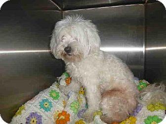 Los Angeles, CA - Maltese. Meet A1427583 a Dog for Adoption.