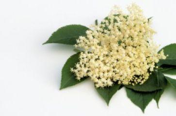 Kwiat Czarnego Bzu Wlasciwosci Mitologia I Przetwory Plants